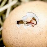 Kyllingerne bliver hurtigere slagtemodne