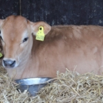 Naturmælk har ikke aflivet tyrekalve siden 2015.