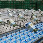 Arla vil udbetale 2 milliarder kroner til mælkebønderne