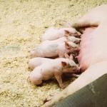 Færre grise skal halekuperes