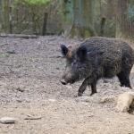 Øget EU-indsats mod svinepest